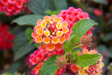 Close Up On Lantana Flowers, Vibrant Magenta Pink Orange And Yellow. They Are Native To Tropical Regions Of The Americas And Africa But Exist As An Introduced Species In Numerous Areas