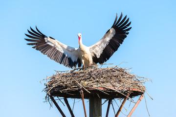 White stork lands on the nest, Salburua park, Alava, Spain