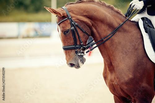 Photo  Portrait sports stallion in ammunition. Dressage horse.