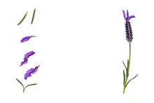 Spanish Lavender Flower And Petals Isolated On White Background With Copy Space In Middle