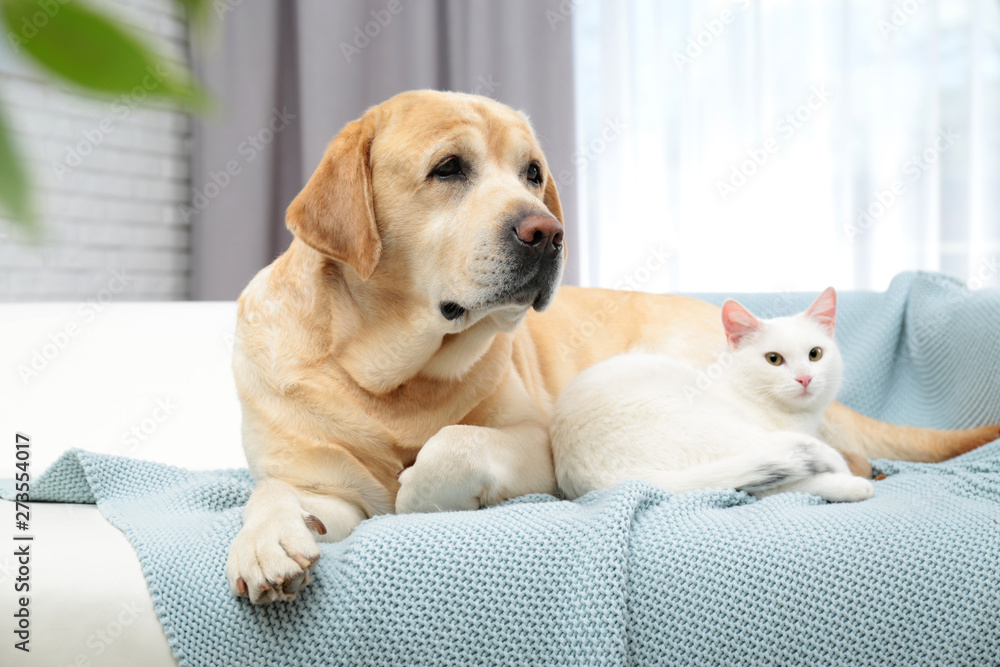 Fototapeta Adorable cat looking into camera and lying near dog on sofa indoors. Friends forever