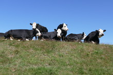 Black And White Cows Looking In Different Directions, Some Sitting, Some Standing