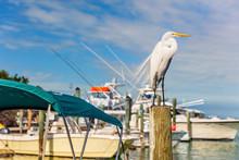 Great Egret Bird At Marina Of The Keys In Islamorada, Key West, Florida, USA Wildlife. Ardea Alba.