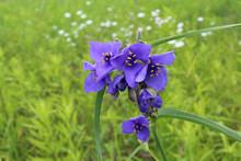 Cluster Of Ohio Spiderwort Blo...