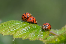 Harlequin Ladybird ( Harmonia ...