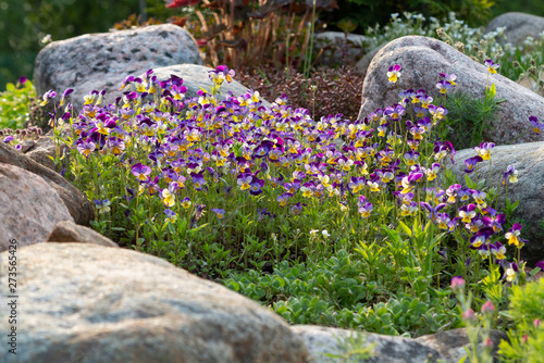 Fotografie, Obraz  Blooming violets and other flowers in a small rockery in the summer garden