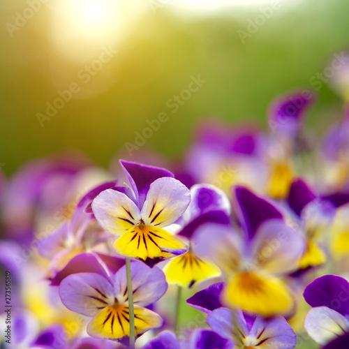 Papiers peints Pansies group of perennial yellow-violet Viola cornuta, known as horned pansy or horned violet
