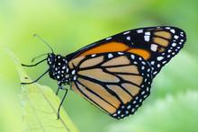 Butterfly 2019-49 / Monarch Bu...