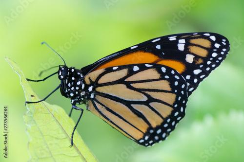 Fotografia, Obraz Butterfly 2019-49 / Monarch butterfly (Danaus plexippus)