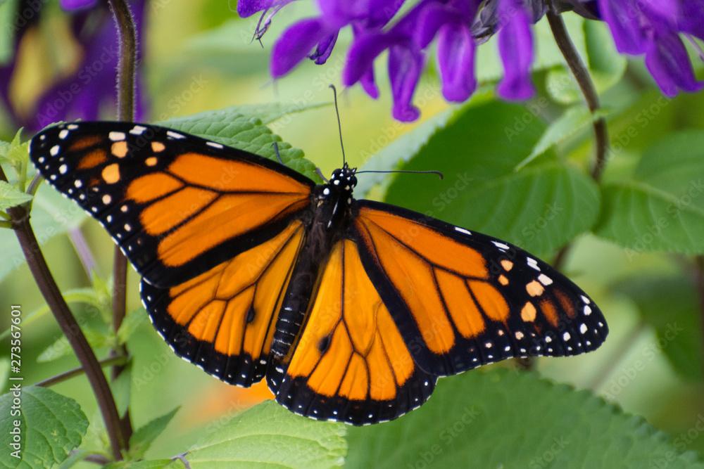 Fototapeta Butterfly 2019-54 / Monarch butterfly (Danaus plexippus)