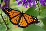 Butterfly 2019-54 / Monarch butterfly (Danaus plexippus)