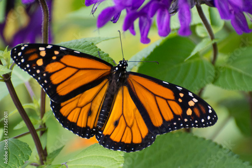 Butterfly 2019-54 / Monarch butterfly (Danaus plexippus) Canvas Print