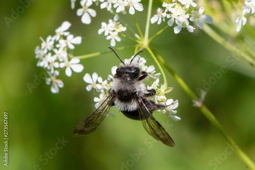 Ashy mining bee (Andrena cineraria) Wallpaper Mural