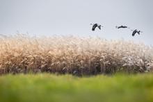 Migratory Birds In Poyang Lake Natural Reserve
