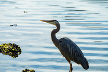 One Great Blue Heron Standing On Algae Covered Rock On The River Shore Looking Up