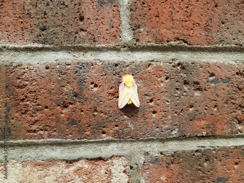 yellow and pink hairy moth on red brick wall