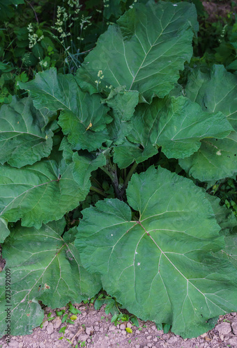Fotografia big green leaves of burdock in the road. Green background.