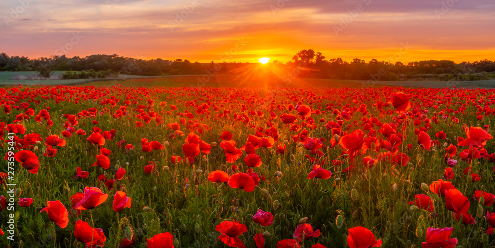 Fototapety, obrazy: sunset over a meadow of blooming red poppies-panorama
