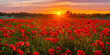 sunset over a meadow of blooming red poppies-panorama