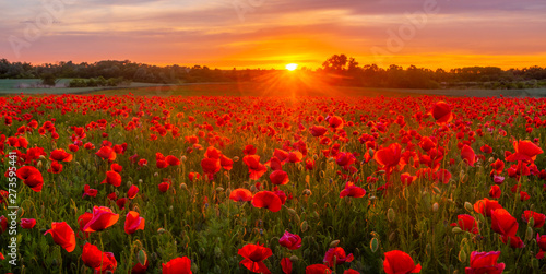 Foto auf Leinwand Mohn sunset over a meadow of blooming red poppies-panorama
