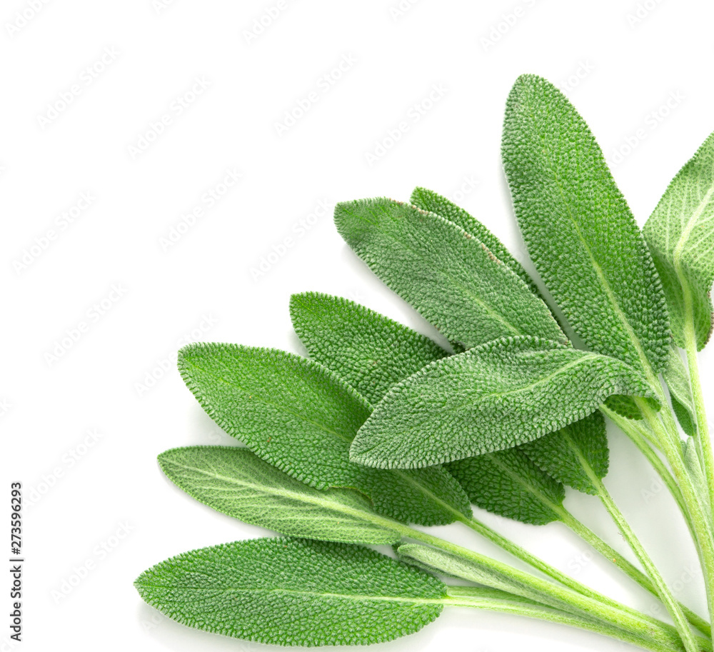 Fototapety, obrazy: Close up a fresh green sage herb leaf on white background