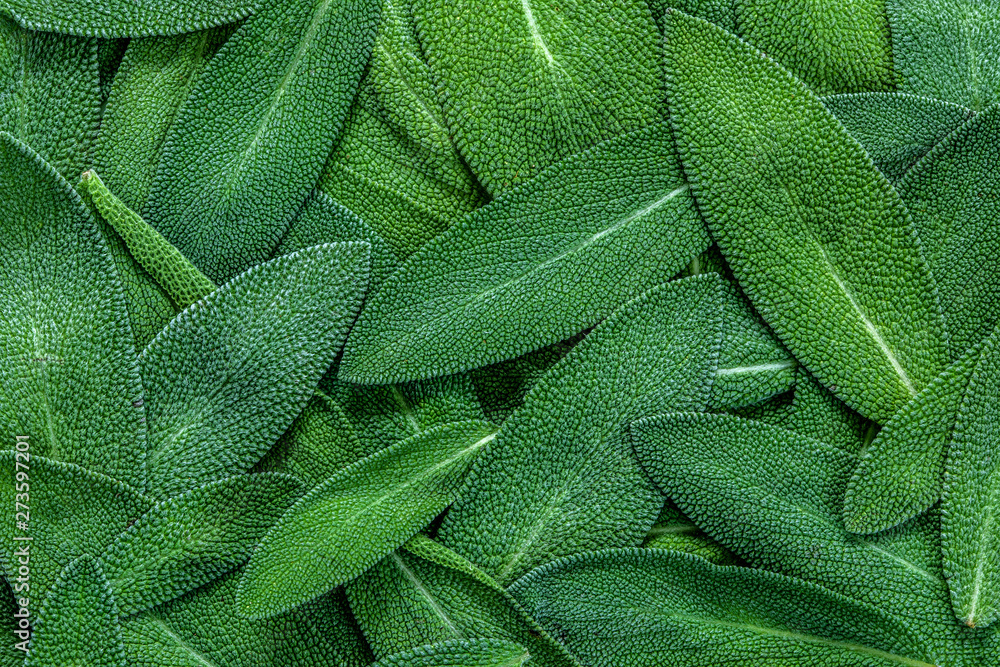 Fototapety, obrazy: close up a herb sage leaf abstract texture background