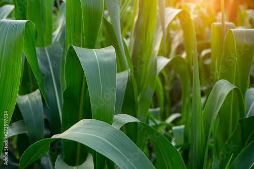 Foto auf Gartenposter Grun Close up the leaves of corn in Agriculture Farm with sunlight.