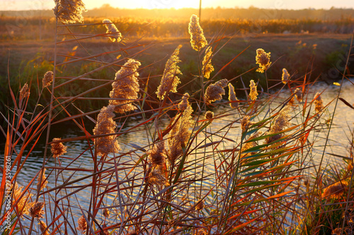 Branch of marsh reeds against of golden sunset in a quiet windless evening near Canvas Print
