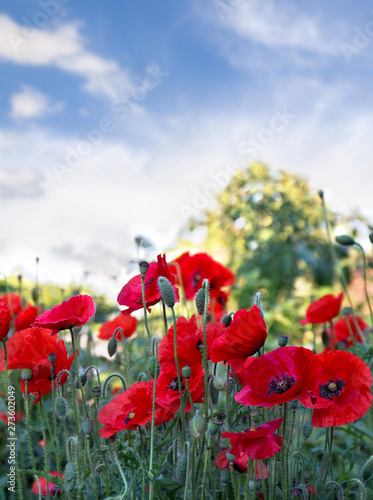 Flowers red poppies ( Papaver rhoeas, corn poppy, corn rose, field poppy, red weed, coquelicot ) on a background sky with clouds Wall mural