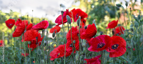 Flowers red poppies ( Papaver rhoeas, corn poppy, corn rose, field poppy, red weed, coquelicot ) - 273602061