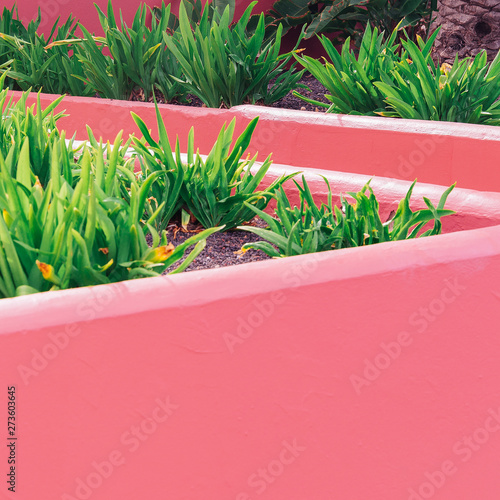 Photo  Plants on pink creative concept. Plant canary island