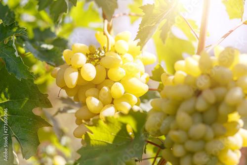 Stampa su Tela  Ripe juicy white grapes on vine in the garden