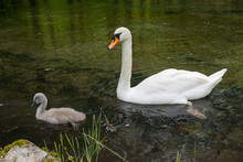 Mother Swan With Her Cubs