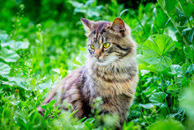 A Fluffy Striped Cat Sits On The Grass And Looks Aside_