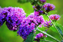 Booming Butterfly Bush, Buddle...