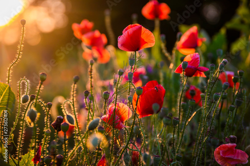 Tuinposter Poppy Field with flowering poppies. Beautiful summer landscape.