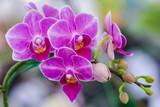 Kwiat orchidei w ogrodzie orchidei w zimowy lub wiosenny dzień dla koncepcji piękna i rolnictwa. Phalaenopsis Orchidaceae.