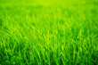 Leinwandbild Motiv Fresh green grass in sunset with glow