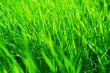 Leinwandbild Motiv Wonderful turf for football and other sports. Fresh green grass in sunset with glow
