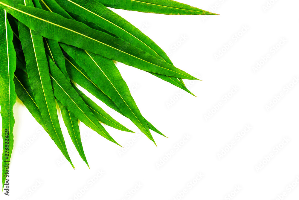 Fototapety, obrazy: Fresh, narrow,  green leaves are folded like a fan in the left corner. Isolated photo. Chamaenérion angustifolium.  Medicinal plant. Blooming sally, Epilobium angustifolium. Fireweed.