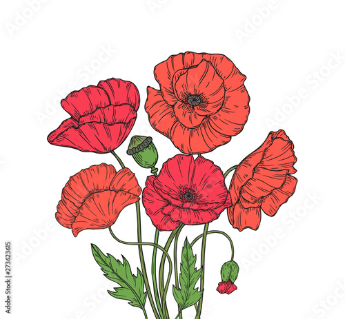 Poppy bouquet. Red poppies flower meadow garden flowers decorative plant poppy bud planting floral anzac day vector background. Illustration of red poppy bud sketch, sketching branch blooming - 273623615