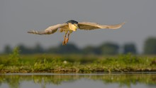 Black-crowned Night Heron (Nycticorax Nycticorax) Flying Over Water In Evening Light, Kiskunsag National Park, Hungary, Europe