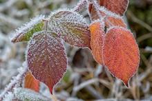 Autumnal Blackberry Leaves (Ru...