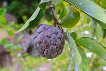 Custard Apple, Wild-sweetsop Or Ox-heart (Annona Reticulata), Fruit, Mahe Island, Seychelles, Africa