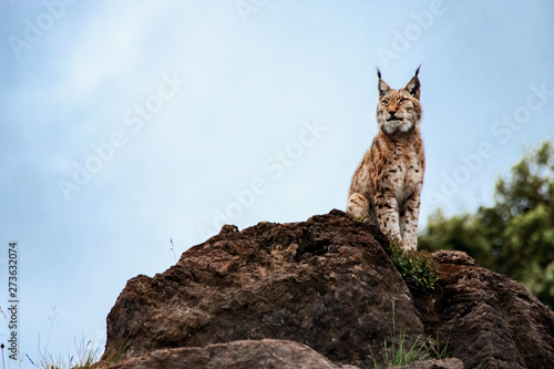 Foto auf Leinwand Luchs Northern bobcat sitting on a rock