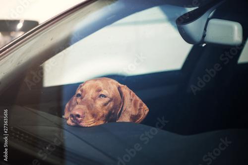 Canvastavla  Sad dog left alone in locked car.