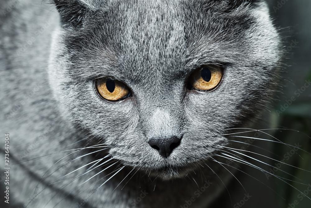 Fototapety, obrazy: chat british shorthair