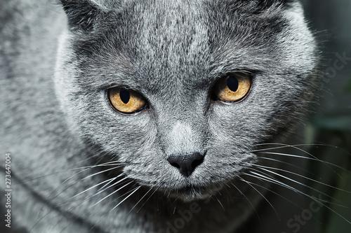 Photo sur Toile Chat chat british shorthair
