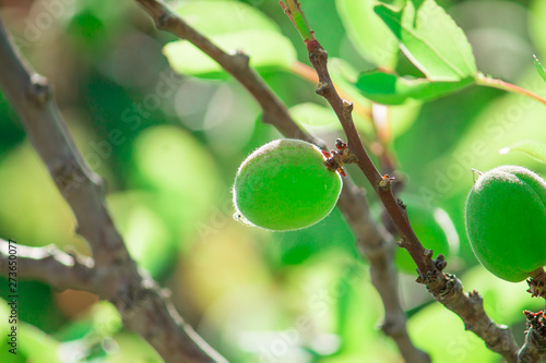 Wall Murals ripening green apricots on apricot tree with green leaves lit with the sunlight on green background