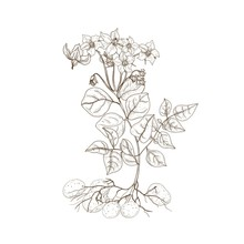 Monochrome Outline Drawing Of Potato Plant With Flowers, Roots And Tubers. Edible Cultivated Tuberous Crop Hand Drawn With Contour Lines On White Background. Elegant Realistic Vector Illustration.